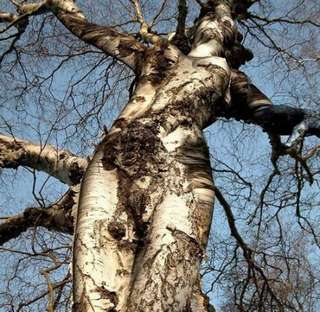 birch tree shaped like a woman