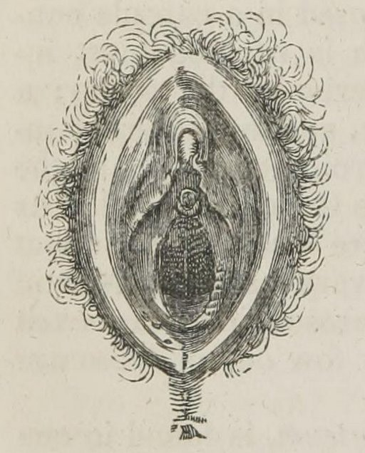 1847 vulva drawing