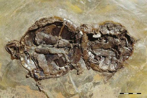 fossilized turtle sex