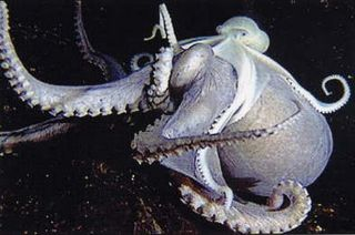 octopus on octopus interspecies