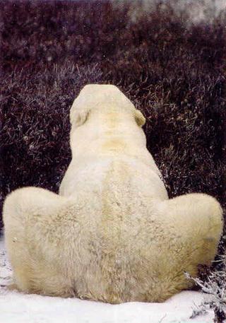 penis bear