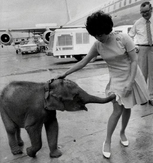 1960s photo of a baby elephant putting his trunk up a lady's skirt
